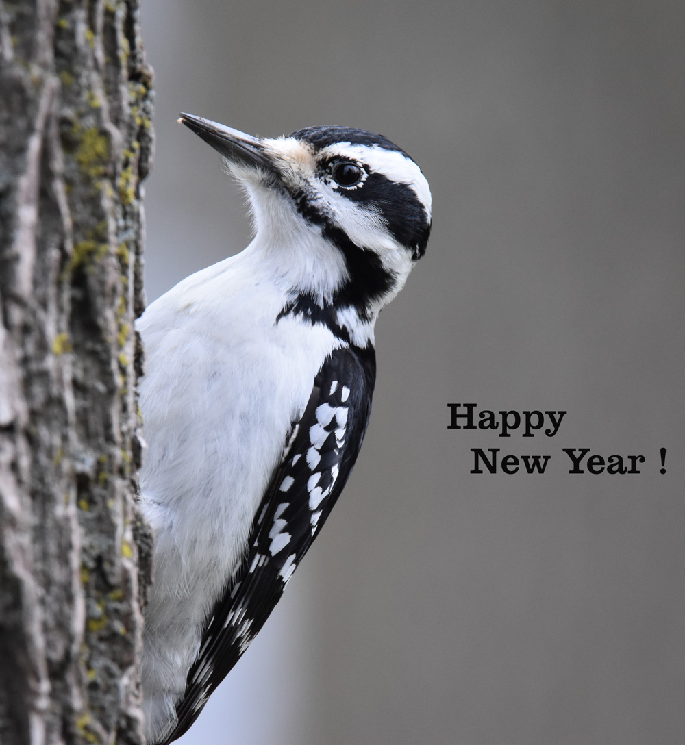 A Hairy Woodpecker Poses for the New Year Cover Photo