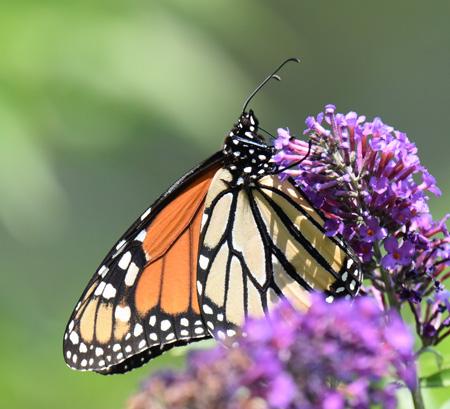 Photo of Monarch Urquhart on NaturalCrooksDotCom