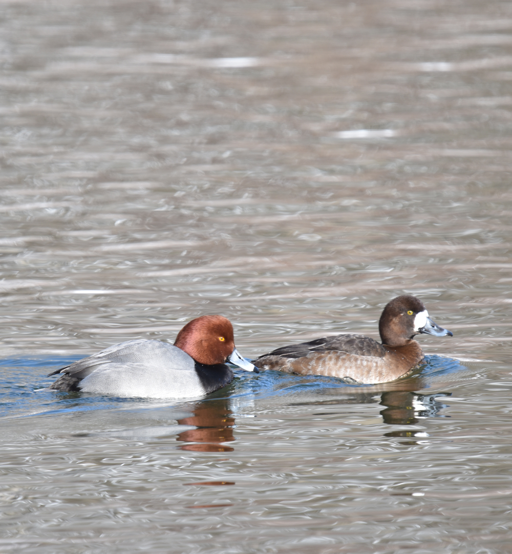 Photo of Redhead Pair Lasalle on NaturalCrooksDotCom