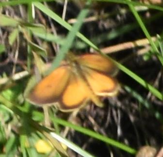 Photo of Skipper Urquhart Butterfly Garden Dundas ON Canada 20170821 on Natural CrooksDotCom
