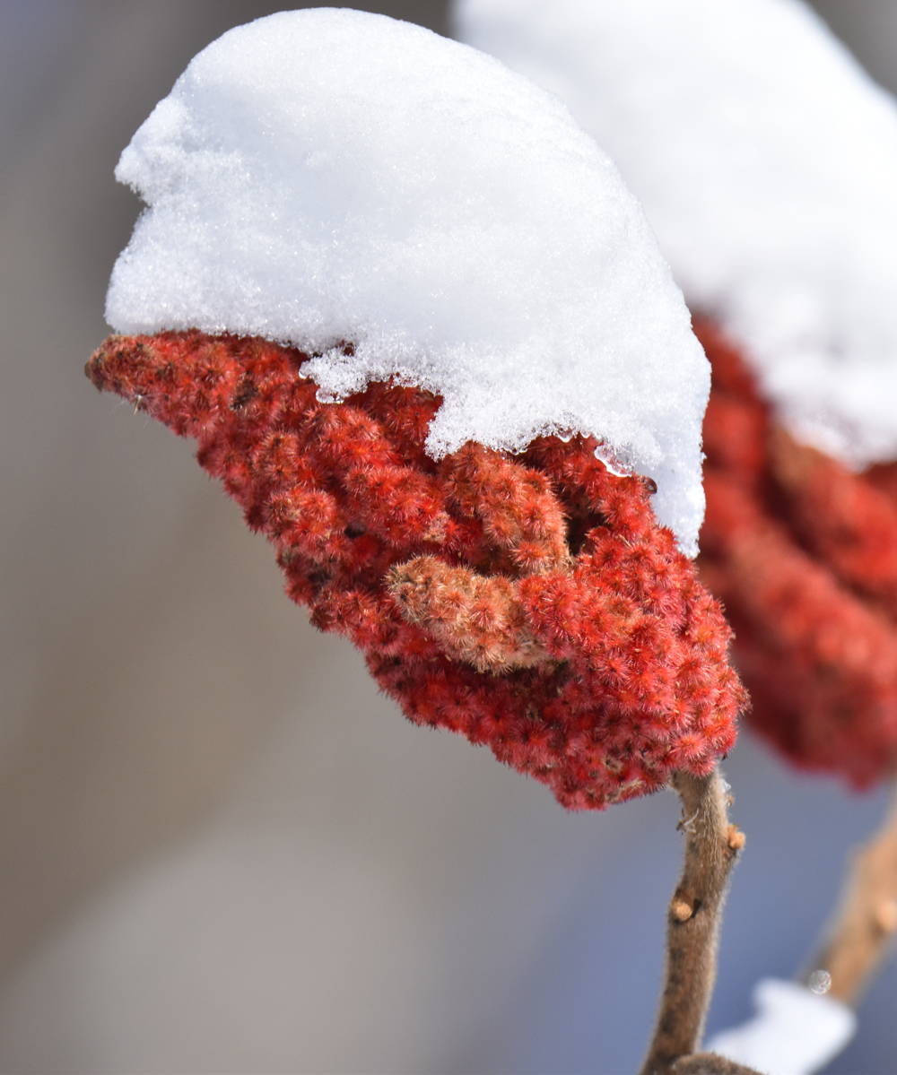 Photo of Staghorn Sumac Snowy Lasalle on NaturalCrooksDotCom