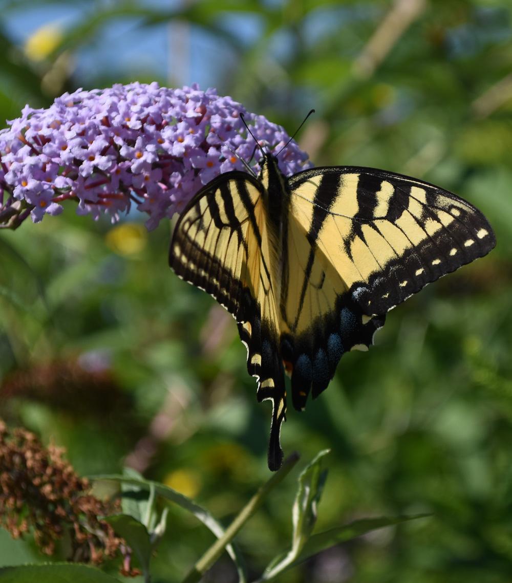 Photo of Tiger Swallowtail Urquhart on NaturalCrooksDotCom