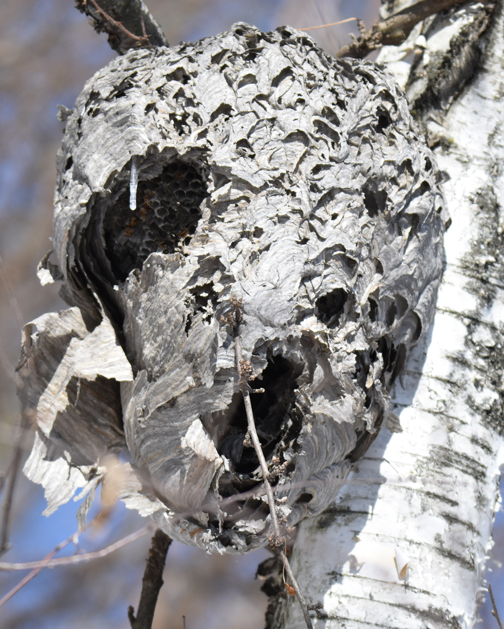 Photo of Wasp Nest Lasalle on NaturalCrooksDotCom