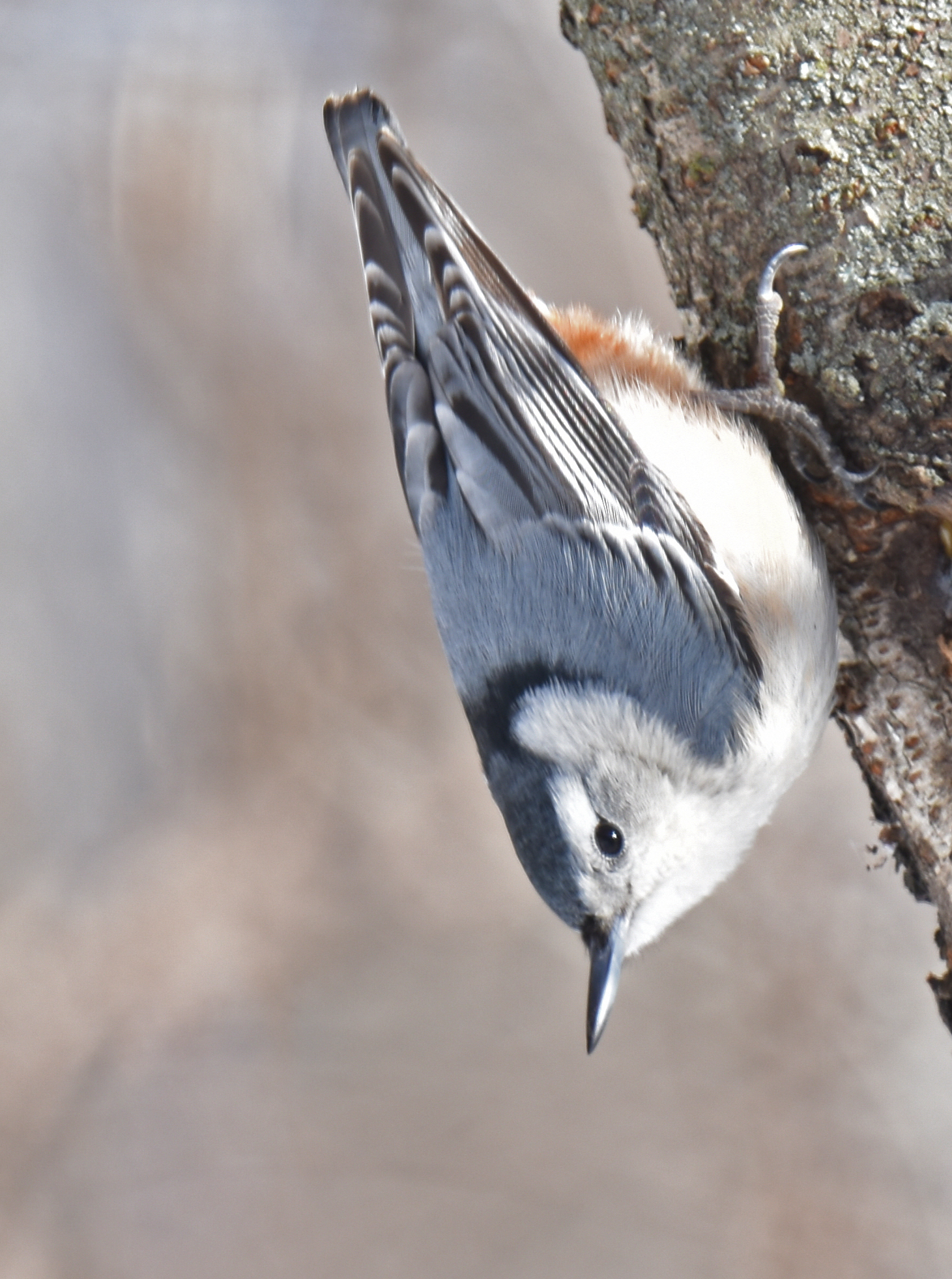 Photo of White Breasted Nuthatch Lasalle on NaturalCrooksDotCom