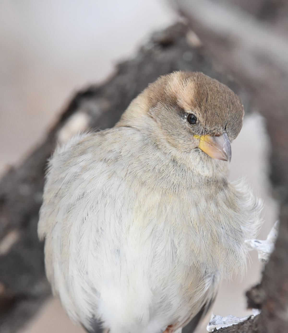 Photo of House Sparrow Curious On NaturalCrooksDotCom