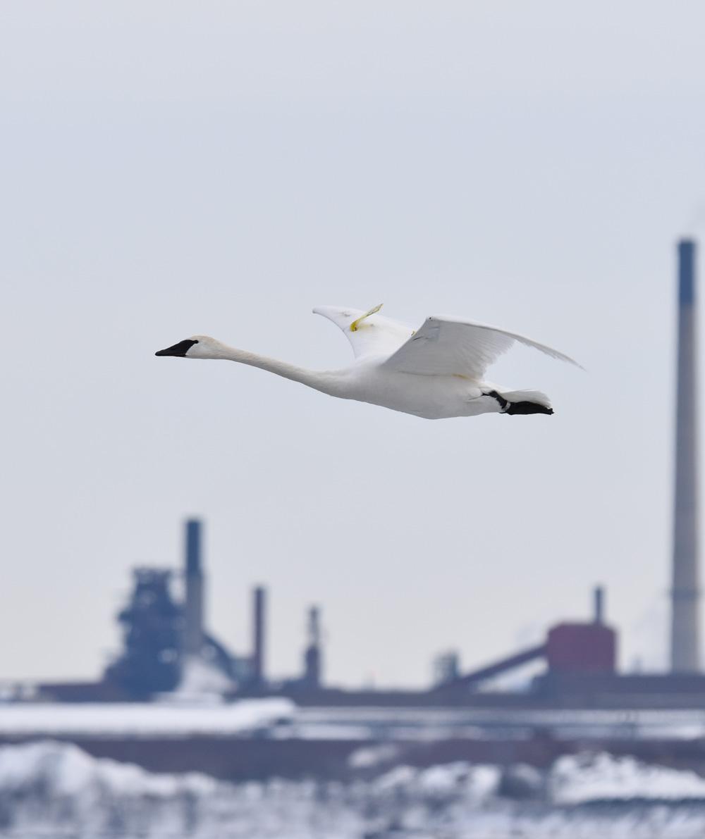 Photo of Trumpeter Swan Smokestack on NaturalCrooksDotCom