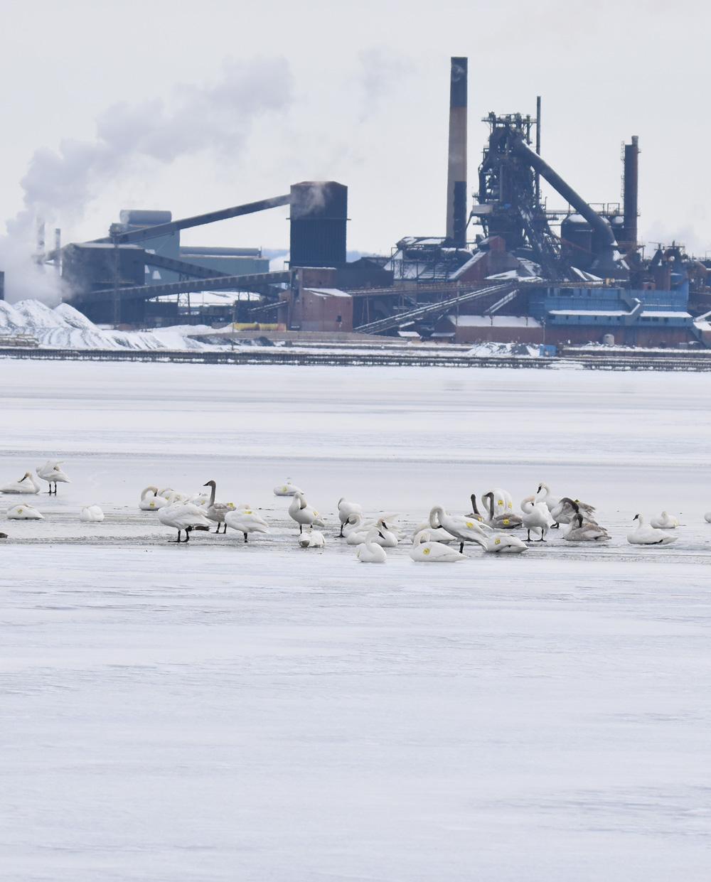 Photo of Trumpeter Swans Steel on NaturalCrooksDotCom