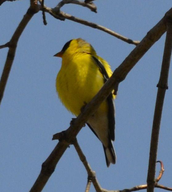 Little Yellow Bird >> Which Little Yellow Bird Is Flitting Through The Forest Near Lake