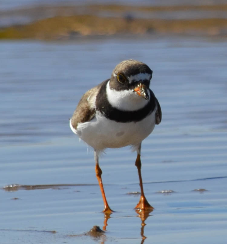 What Small Beach Bird Has A Black Neck Band And Yellow Legs