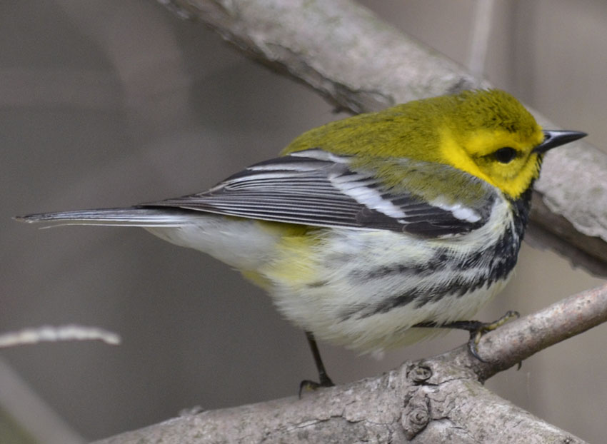 what warbler has a yellow head black throat and vivid white wing