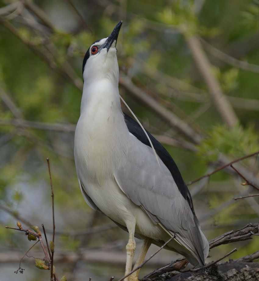 Why Is A Large Grey And White Heron Perched In A Tree In The