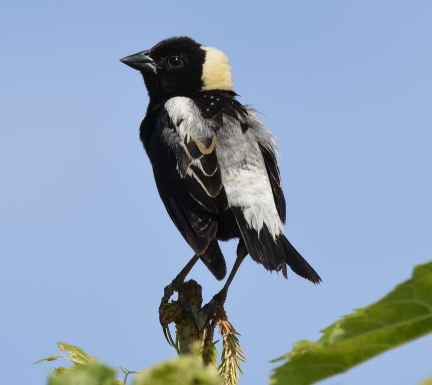 bird head ontario tan bobolink helmet its perched field cap slipping beside feet naturalcrooks rambles