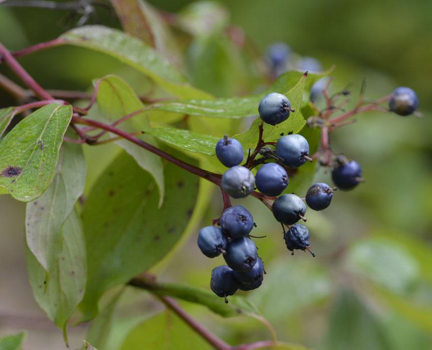 Various Blue Berries Brighten September Walks In Forests