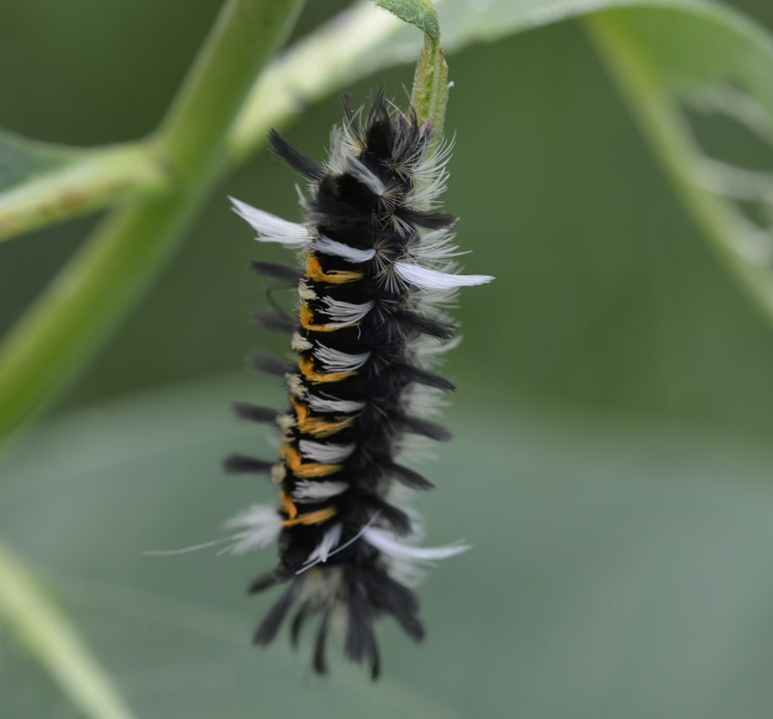 what is this orange and black and white spiky caterpillar on the