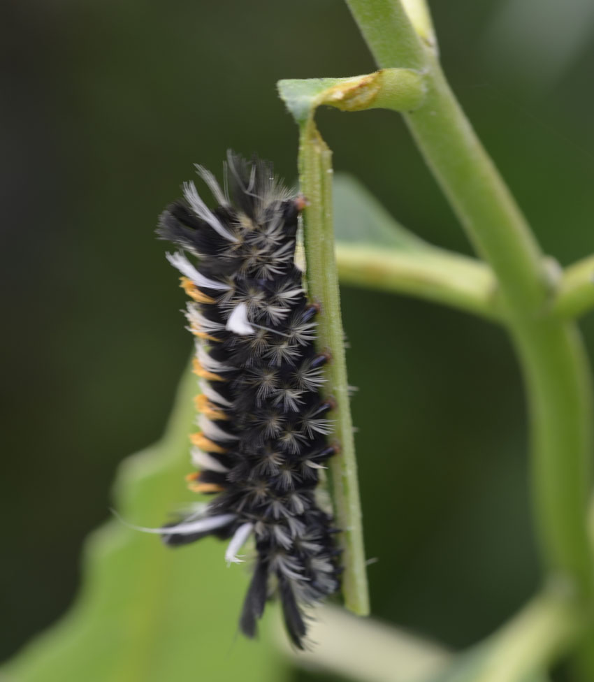 What Is This Orange And Black And White Spiky Caterpillar On The Milkweed Natural Crooks Ramblings
