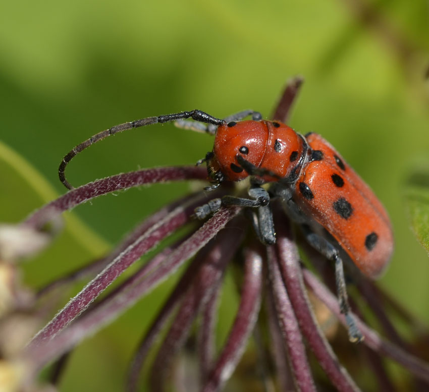 What Are These Black Spotted Red Insects on the Milkweed Plants