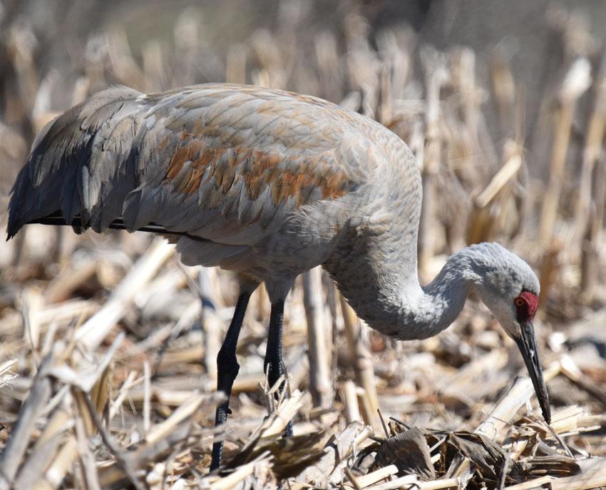 Stalking Elusive Sandhill Crane From >> Stalking A Sandhill Crane Amidst The Corn Stalks Natural Crooks