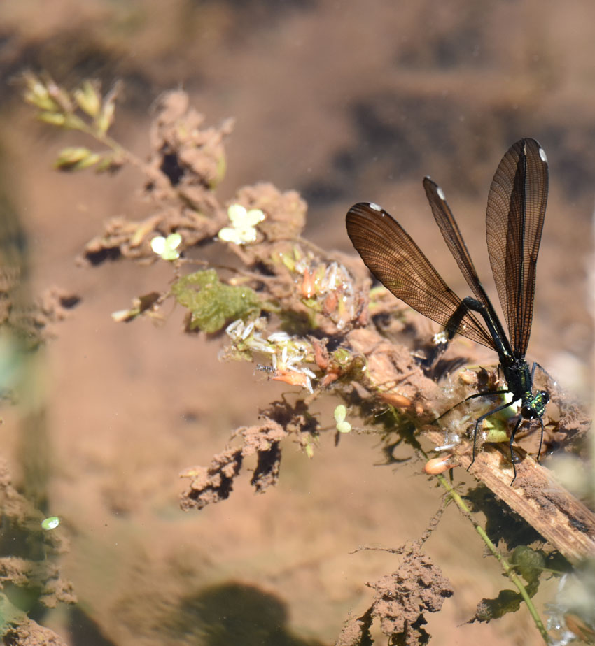 What Southern Ontario Damselfly or Dragonfly Has Black Wings Or