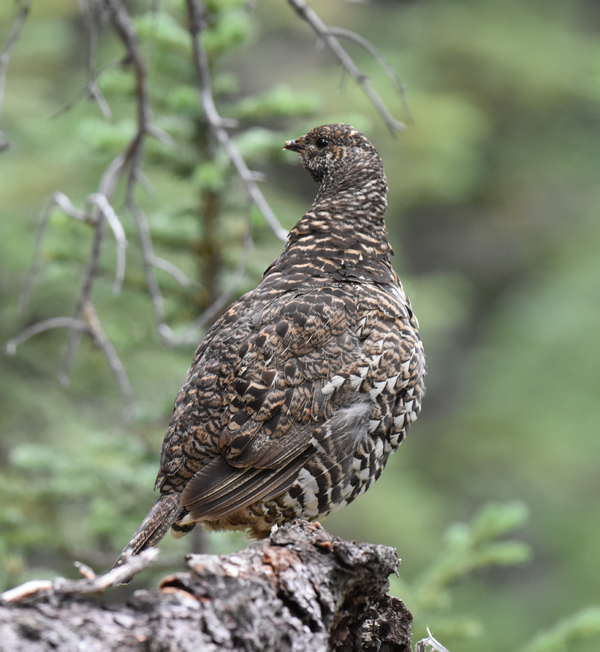 A Spruce Grouse or a Franklin's Grouse at Peyto Lake ...