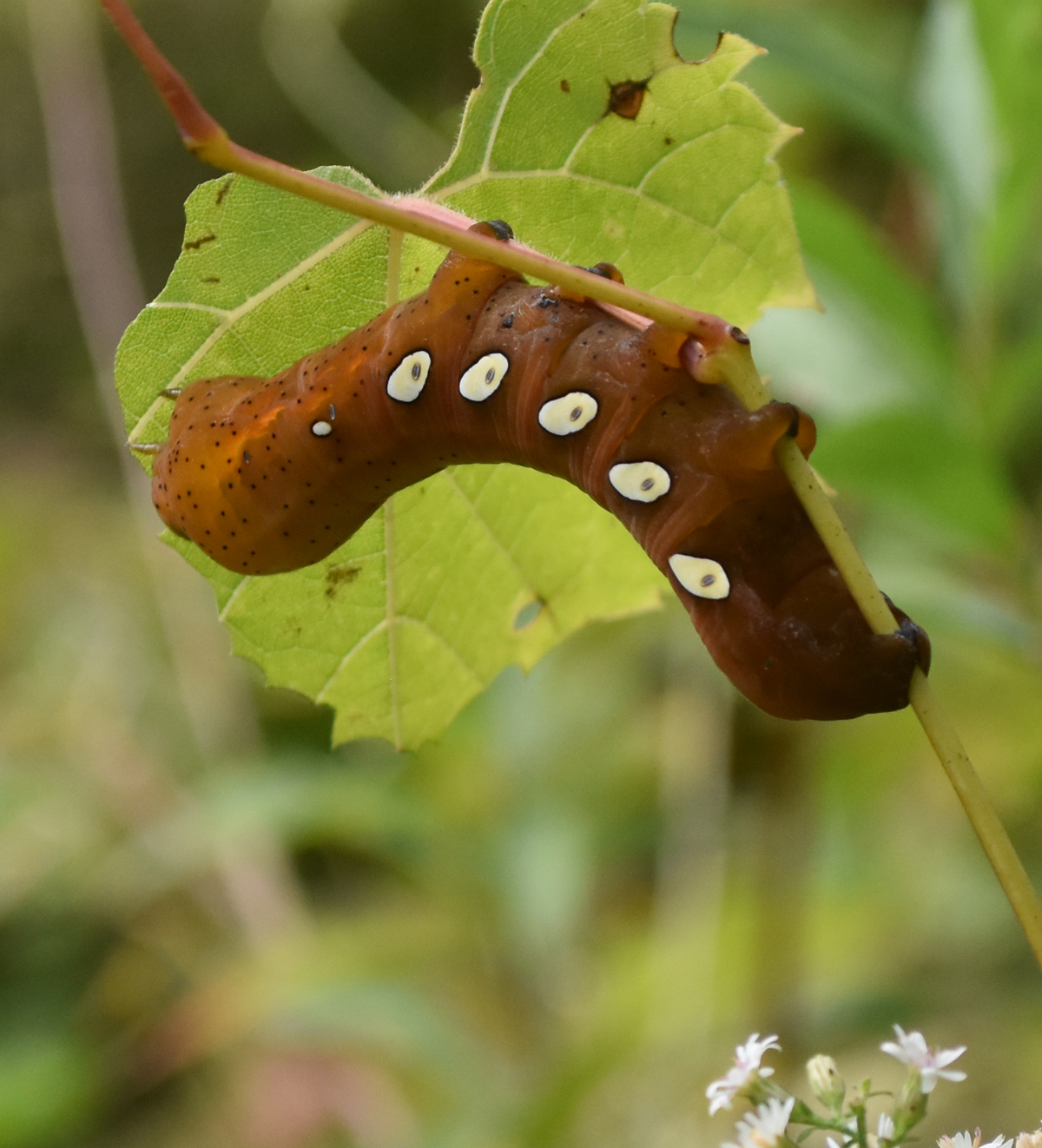 what big smooth caterpillar is rusty brown with 5 white eye spots